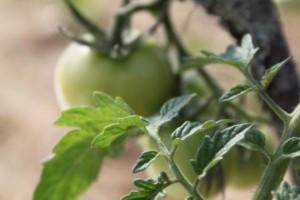 Fina tomater... redan!