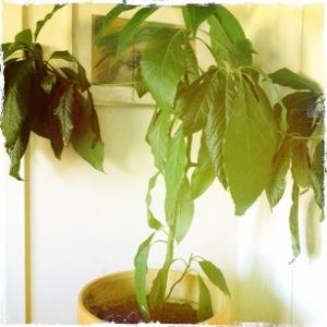 Vårt älskade Avocado-träd... skall bli 30 m högt enligt böckerna
