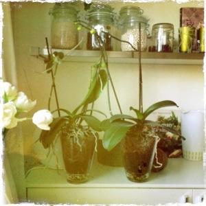 Orkidéerna är jag extra stolt över... de bär skott och knoppar för tredje gången.